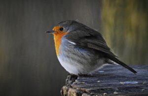 robin, bird, perched